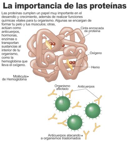¿Cuál es la importancia de las proteínas?