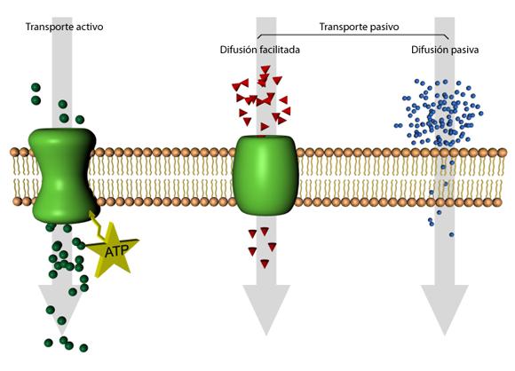 Proteínas de transporte